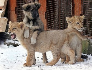 lionscubswithpup